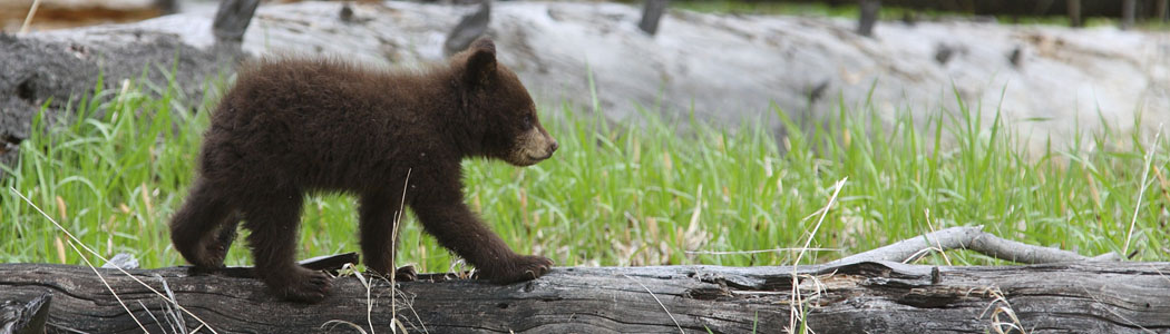 For Bear Biologists Amp Wildlife Agencies Living With Bears