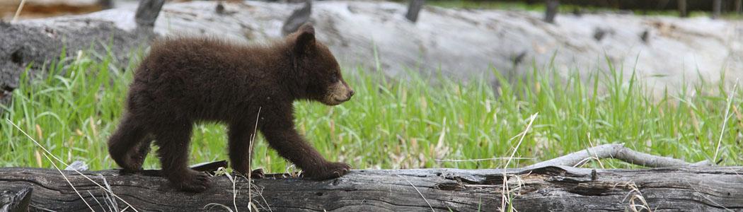 Cinammon Cub