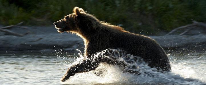Running Bear in Water
